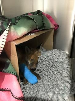 Un pui de vulpe găsit aproape mort a fost readus la viață. Incredibila transformare (Galerie Foto)