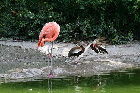 Despre imitaţie şi alte aspiraţii: raţe care se cred păsări flamingo (Galerie Foto)