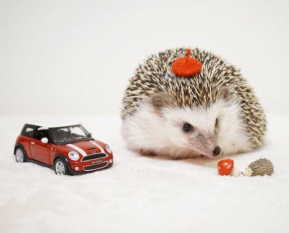 Arici cu pălării, în cele mai drăgălaşe imagini. Vei fi cucerit! (Galerie foto)