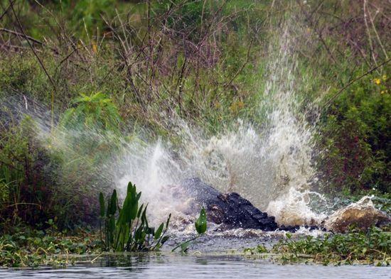 Când vânătorul devine vânat: aligator sfâşiat de la mijloc (Galerie Foto)
