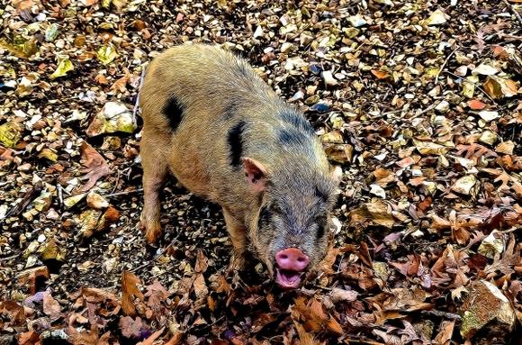 """Un porc sălbatic a furat 18 beri, s-a îmbătat şi """"s-a luat la harţă"""" cu o vacă - Galerie Foto"""