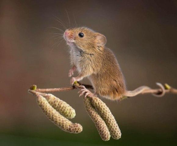 28 de imagini superbe cu şoareci de câmp surprinşi în sălbăticie - Galerie Foto