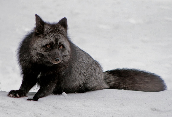 Mutaţii incredibile: animale care suferă de melanism (Galerie Foto)
