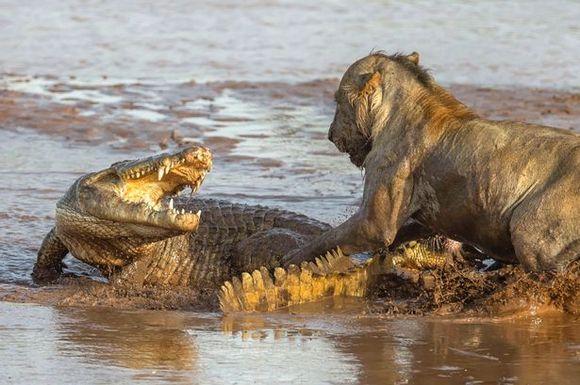 Lei versus un singur crocodil. Cine obţine trofeul?(Galerie Foto)