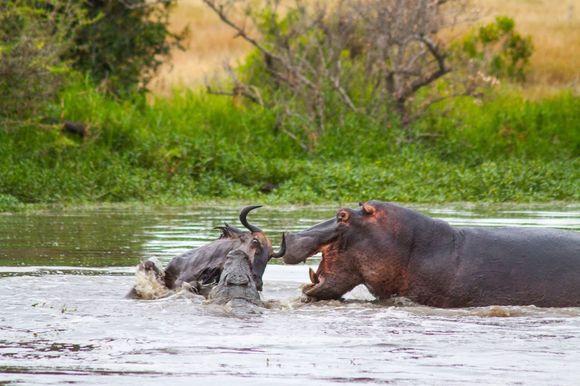 Fotografii incredibile: în lupta dintre un crocodil și o antilopă intervine un hipopotam (Galerie Foto)