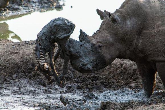 Imagini incredible: un rinocer salvează un pui de zebră, înțepenit în noroi (Galerie Foto)