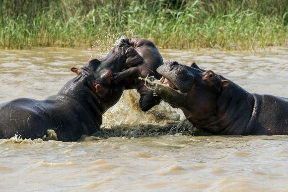 Imagini brutale: un hipopotam mascul ucide un nou-născut, în timp ce mama lui încearcă disperată să îl salveze (Galerie Foto)