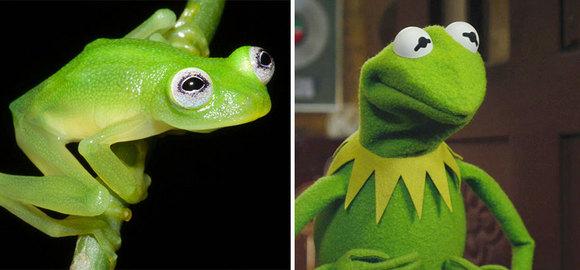 Descoperire: broscuța Kermit – reala în Costa Rica! (Galerie Foto)