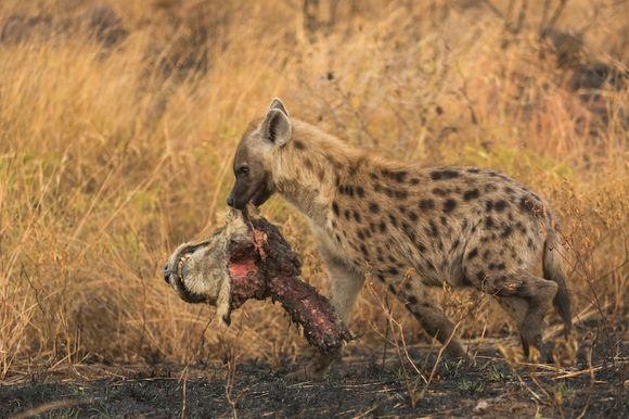 Triumf asupra regelui junglei: o hienă face paradă cu noul său trofeu – un leu decapitat (Galerie Foto)