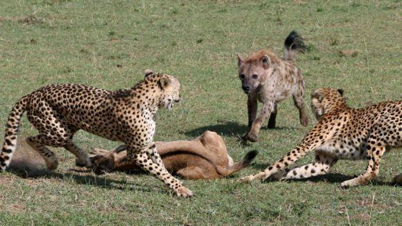 Supraviețuire miraculoasă: un pui de antilopă a scăpat din ghearele a doi gheparzi, a unei hiene și a unui șacal – Galerie Foto
