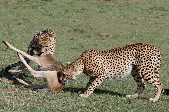 Supraviețuire miraculoasă: un pui de antilopă a scăpat din ghearele a doi gheparzi, a unei hiene și a unui șacal (Galerie Foto)