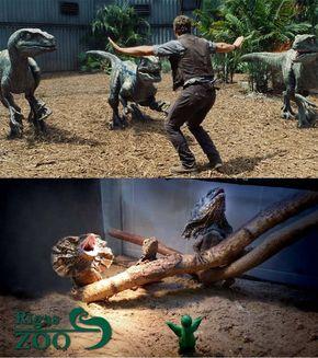 Fioros, dar nu prea: îngrijitorii de la zoo refac scenele din Juraasic World, folosindu-se de animale încântătoare (Galerie Foto)