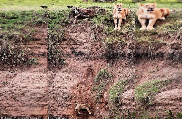 Gestul incredibil pe care l-a făcut o lupoaică, pentru a-și salva puiul (Galerie Foto)