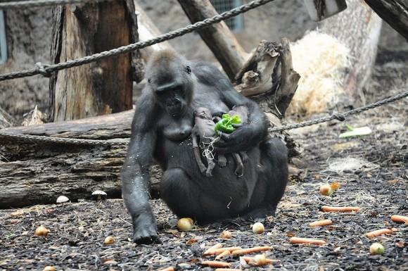 Emoționant: Ce face această maimuță, cu puiuțul ei decedat... (Galerie foto)