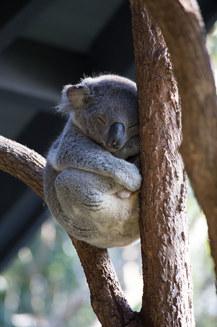 Cele mai drăgălaşe fotografii cu koala, din toate timpurile (Galerie Foto)