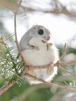 Veveriţele zburătoare, cele mai simpatice animale de pe pământ (Galerie foto)