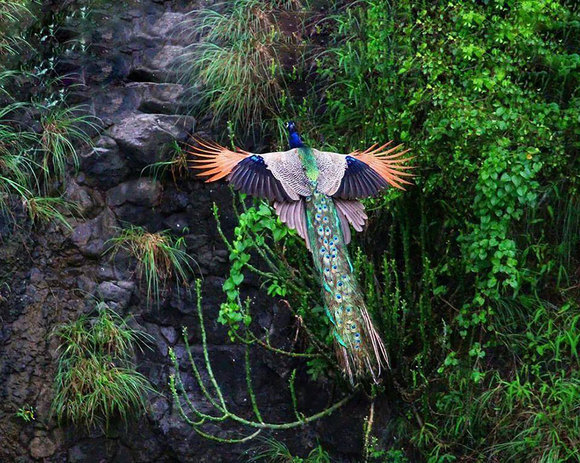 Fascinaţia zborului: imagini superbe cu păuni înălţându-se la cer (Galerie Foto)