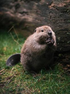 Ziua Internațională a Castorilor: cea mai tare galerie foto cu puișori de castori (Galerie Foto)