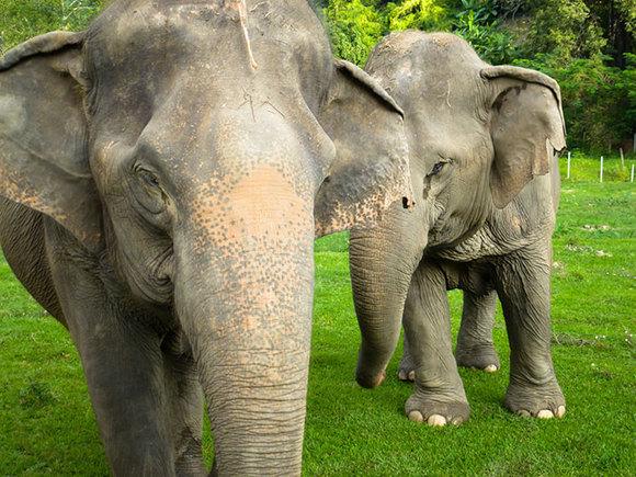 Un elefant orb își jelește sufletul pereche și nu lasă oamenii să îl îngroape (foto)