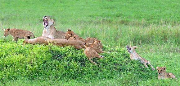 Portretul perfect de familie: cum a fost fotografiată o leoiacă, alături de 8 pui (Galerie foto)