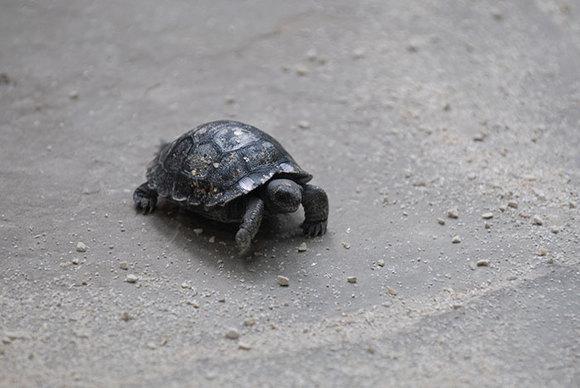 O broască țestoasă a devenit mămică la 80 de ani  (Galerie Foto)