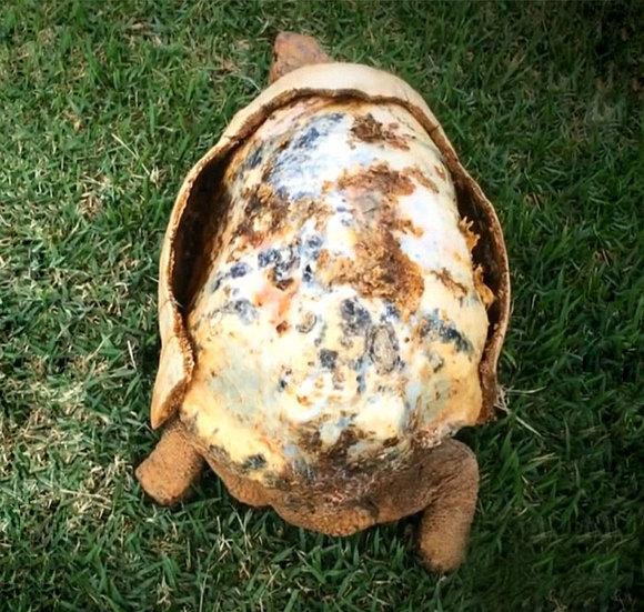Prima broască țestoasă  din lume care a primit o carapace imprimată 3D. De ce suferea micuța (Galerie Foto)