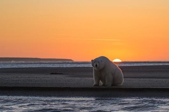 S-a dus în Alaska să fotografieze urşi polari în zăpadă – dar acolo nu mai era zăpadă! Imaginile cutremurătoare (Galerie Foto)