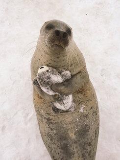 O focă şi-a găsit propria versiune de pluş, iar acum nu se mai poate despărţi de ea (Galerie foto)