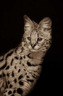 Pisici mari: Fotografiile impresionante ale unui artist care şi-a petrecut 10 ani din viaţă fotografiind feline sălbatice (Galerie foto)