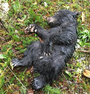 A riscat pedeapsa cu închisoarea, pentru a salva un pui de urs care era pe moarte (Galerie foto)