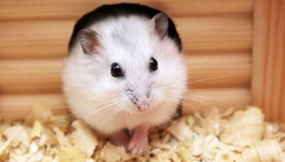 Notiuni generale despre ingrijirea hamsterilor