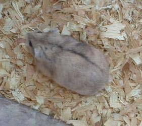 Hamsterii mozaic
