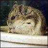 Diabetul la hamsterii pitici