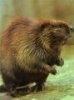 Informatii generale despre castori