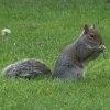 Veveritele gri nu raspund la programul de control al reproducerii