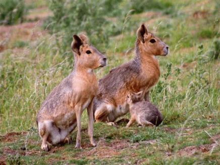 Iepurele de Patagonia (Dolichotis patagonum)
