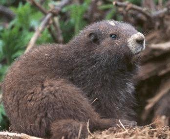 Marmotele din insula Vancouver (Marmota vancouverensis)