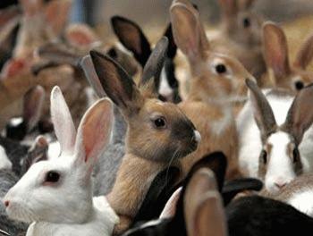 Inmultirea iepurilor