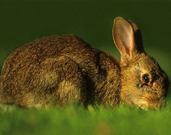 Mixomatoza iepurilor