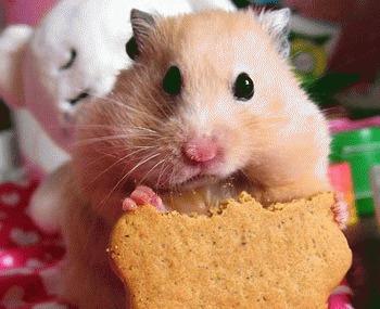 Curiozitati despre hamsteri!