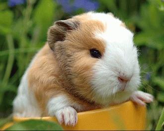 Sa cunoastem mai bine porcusorul de Guinea!