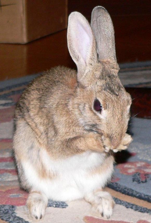 Maladiile dentare la iepuri