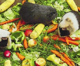 Porcusorul de Guinea si carenta de vitamina C