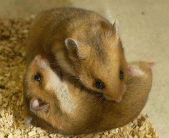 Hamsterii se bat - ce e de facut?