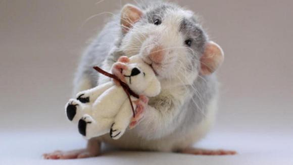 10 motive pentru care să alegeţi un şobolan ca animal de companie