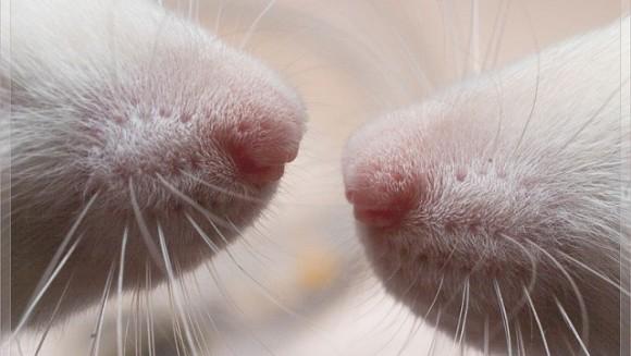 Mustăţile sunt pentru şobolani ca degetele pentru oameni