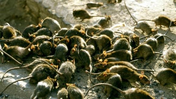 Zeci de şobolani au invadat un loc de joacă pentru copii - VIDEO
