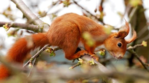 Veverița roșcată (Sciurus vulgaris)