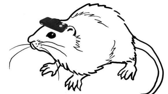 O echipă de cercetători japonezi le-a redat vederea unor șobolani