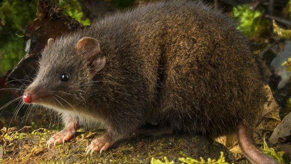 Şobolanul marsupial pe care îl omoară sexul, descoperit în Tasmania